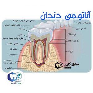 آناتومی-دندان